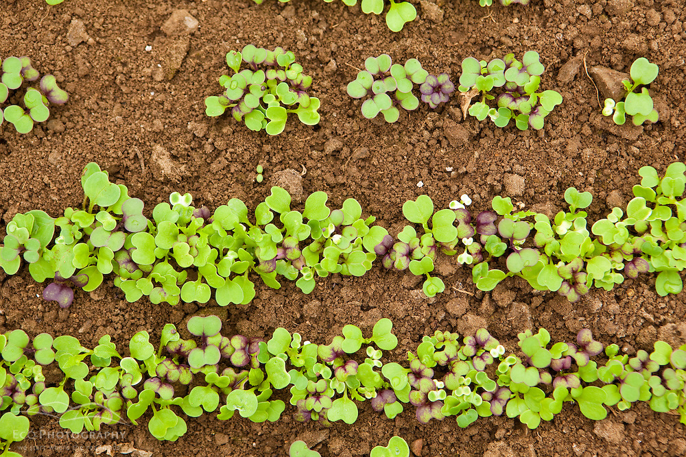 Mesclun seedings in a greenhouse in South Hampton, New Hampshire. Heron Pond Farm greenhouse.  February.