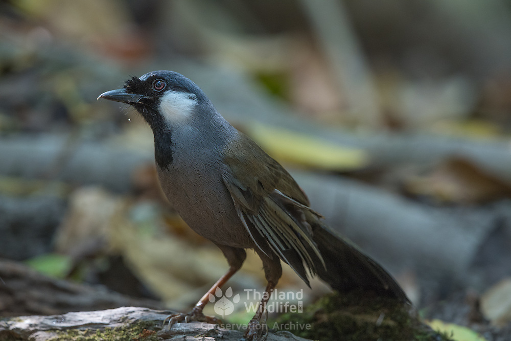 Black-throated laughingthrush (Garrulax chinensis) in Phu Khieo Wildlife Sanctuary, Thailand.