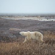 Meeting a Polar Bear in Manitoba