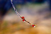 bare tree branch with ice and berry