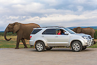 African Elephants walk closely by a toursit vehicle watching them drink at a waterhole, Addo Elephant National Park, Eastern Cape, South Africa