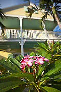 Frangipani tree in Key West, Florida