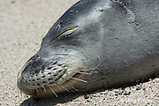 Hawaiian monk seal, Monachus schauinslandi, ( endemic and Critically Endangered species), 8-10 year old female resting on beach, showing mystacial vibrissae, or whiskers, i.e. sensory hairs or bristles, Kukio, Kona Coast, Hawaii ( the Big Island )