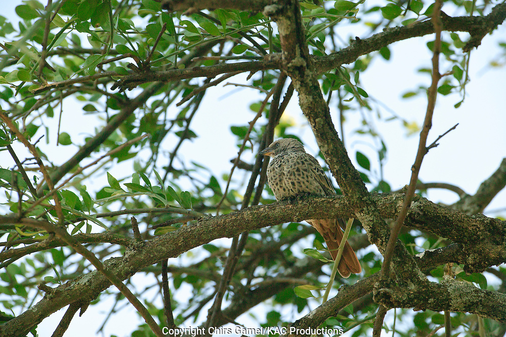 Rufous-tailed Weaver (Histurgops ruficaudus) perched ina  tree, Serengeti national Park, Tanzania, Africa
