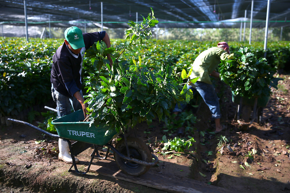 Workers gather trees for distribution at the Jaltenango coffee tree nursery in Chiapas, Mexico. (Joshua Trujillo, Starbucks)