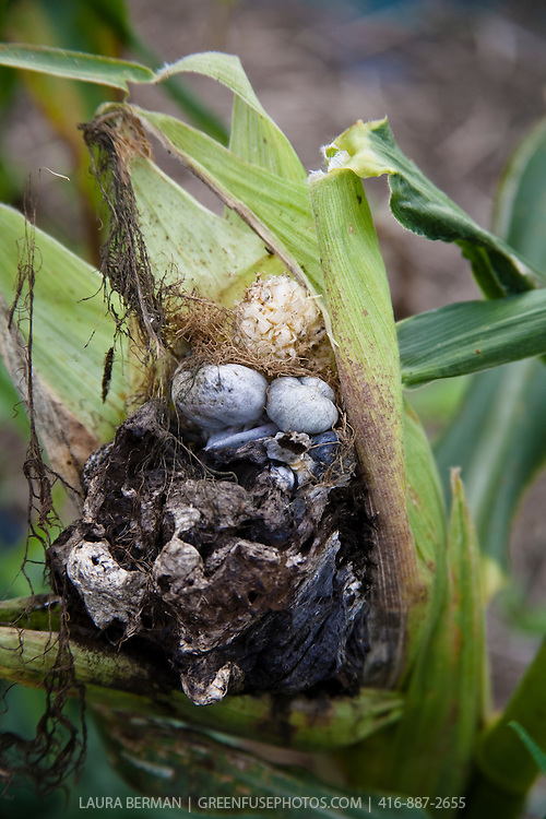 Huitlacoche,  a delicacy and a fungus known as corn smut (Ustilago maydis) that grows on corn.