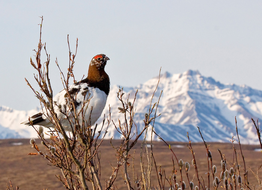 Alaska. Willow Ptarmigan (Lagopus lagopus) sitting in willows in springtime, Denali National Park.