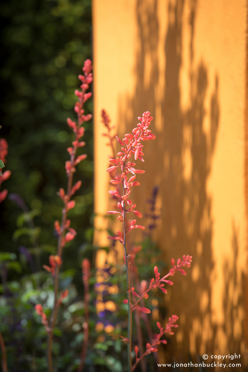 Hesperaloe parviflora<br /> Beneath a Mexican Sky Garden<br /> RHS Chelsea Flower Show 2017<br /> Design: Manoj Malde<br /> Built by: Living Landscapes<br /> Sponsored by: Inland Homes PLC<br /> Photography &copy; Copyright Jonathan Buckley