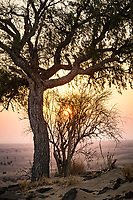 A sunrise through a tree and shrub  in the Thar Desert of Rajasthan, India