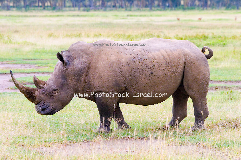 Kenya, Lake Nakuru National Park, Rhinoceros, side view, February
