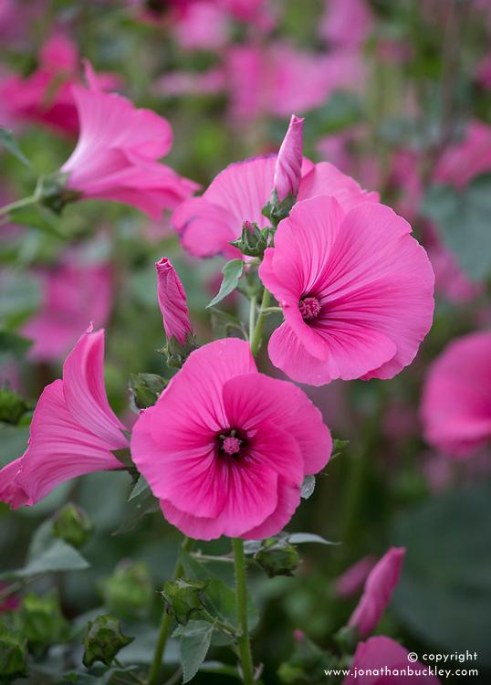 Lavatera trimestris 'Silver Cup Rose Vein'