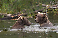 Close-up of two adult brown bears playful in water, Katmai National Park, Alaska