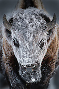 Hoarfrost on a Bison in Yellowstone National Park