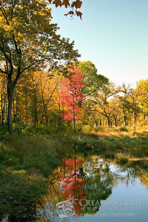 A lone red tree is the only indication that it is autumn.  Picture was taken at the Morton Arboretum in the west suburbs of Chicago.
