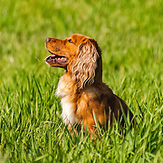 The photography was made at the Minnesota Hunting Spaniel Association Hunt Test, which was held May 21-22, 2016, at Good Go 'Ing Hunt Club, in Baldwin, WI.