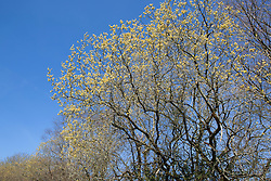Salix caprea against a blue sky. Great Sallow, Goat willow, Pussy willow.