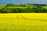 Canola and rolling hills<br /> Brookfield<br /> Prince Edward Island <br /> Canada