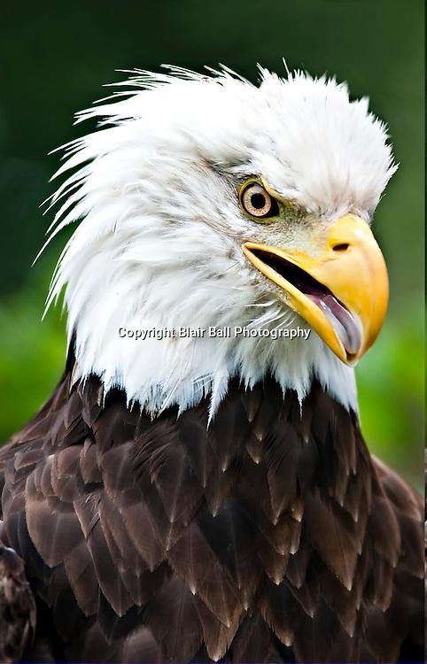 Bald Eagle at Reel Foot Lake, Northwest TN.