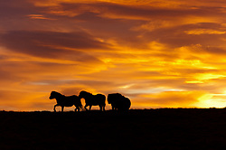 © Licensed to London News Pictures. 13/01/2016. Builth Wells, UK. Welsh ponies are seen silhouetted against the sky at sunrise on the high moorland of the Mynydd Epynt near Builth Wells in Powys, Wales, after a cold night with temperatures dropping to zero. Photo credit: Graham M. Lawrence/LNP