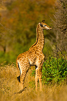 Baby giraffe, Kruger National Park, South Africa