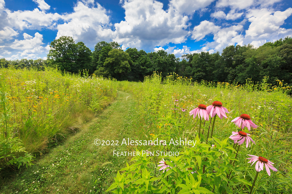 Trail meandering through prairie in bloom with summer wildflowers, north central Ohio.