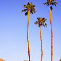 Palm trees at sunrise in Palm Springs, CA.