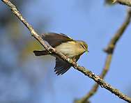 Chiffchaff Phylloscopus collybita L 11cm. Tiny warbler, best known for its onomatopoeic song. Sexes are similar. Adult and juvenile have grey-brown upperparts and pale, greyish underparts suffused with yellow-buff on throat and breast. Bill is needle-like and legs are black; latter feature helps separate silent individuals from similar Willow Warbler. Voice Call is a soft hueet. Song is continually repeated chiff-chaff or tsip-tsap. Status Common summer visitor to mature deciduous woodland with a dense understorey of shrubs. Most migrate south to Mediterranean region in autumn but several hundred overwinter in S Britain. Observation tips Easy to see and hear.