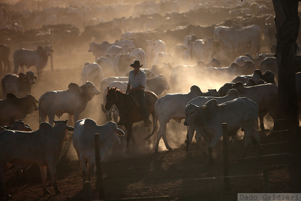 A cowboy gathers cattle kept closed for feeding and gaining weight at a feeding farm in Barretos, Brazil, Tuesday, Aug. 20, 2012. Brazil is on a quick path to become a global power. Rising economy, big infrastructure projects, an emerging and eager consuming middle class and the booming national industry are the evidences and consequences of the wealth in the southern nation. But the often hidden source of all this wealth falls far from the luring Rio beaches or the Kolkata-New York mix that Sao Paulo is. Behind texan hats and a similar attitude the countrymen display their power through a myriad of projects, festivals and behavior visually analyzed here.