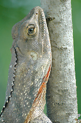 A frill-necked lizard freezes in camouflage against a tree.