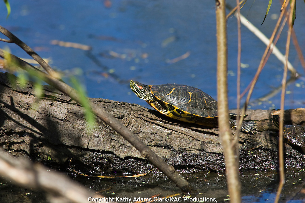 Small red-eared slider turtle, sunning on a branch, Port Aransas, Texas.