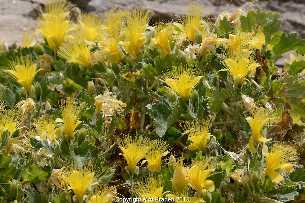 Yellow Rocknettle, (Eucnide bartonioides) along River Road, Big Bend Ranch State Park, Texas