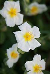 White Helianthemum - probably 'Wisley White'. Rock rose