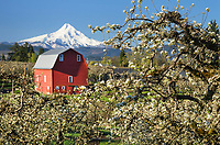 Fruit trees blooming in spring. Mount Hood, Cascade Range stratovolcano elevation 11,249 ft (3,429 m) is in the distance. Hood River Valley Orchards, Oregon