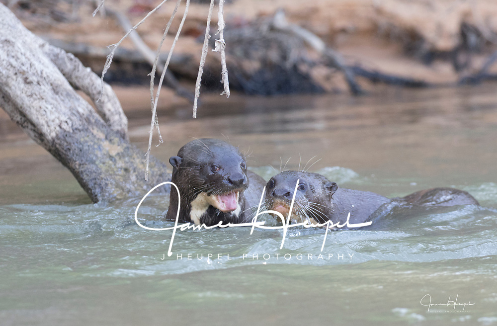 Two Giant River Otters Swim Together