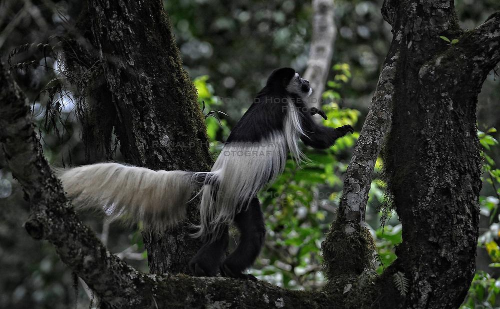 15-10-2008 REPORTAGE: KILIMANJARO CHALLENGE 2008: TANZANIA <br /> De dag van Miriakamba Huts (2514m) naar Momella Gate (1514). Wild, dieren, Natuur, vogels, Colobus aap. De Kilimanjaro Challenge van de BvdGf.<br /> ©2008-FotoHoogendoorn.nl