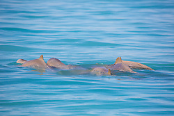 A group of Australian Snubfin dolphins socialise in Roebuck Bay off Broome, WA.