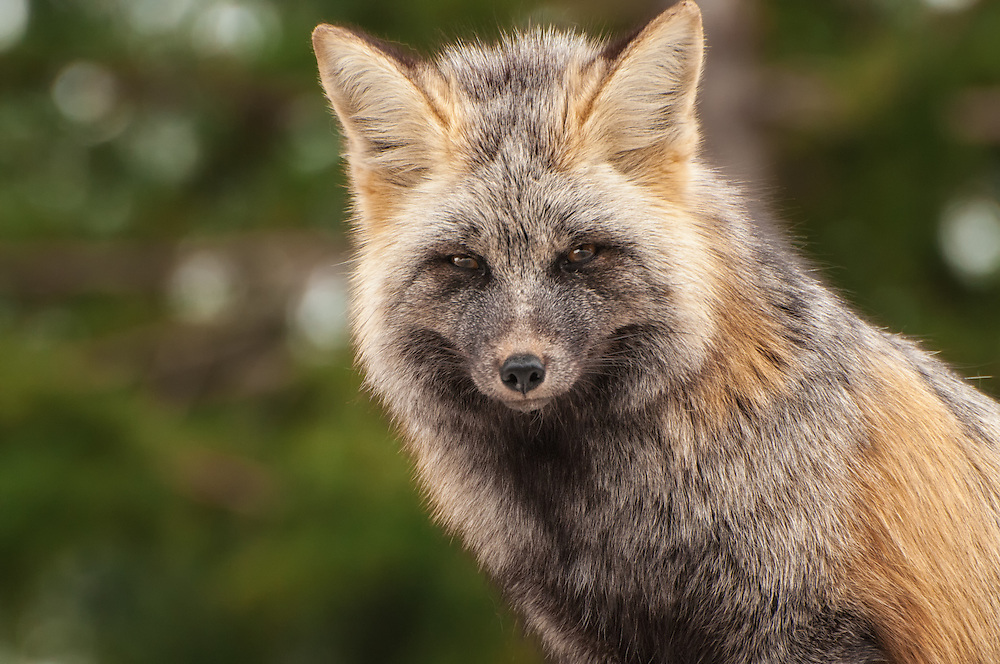 A close-up image of the very rare Cascade Red Fox, a subspecies found in the alpine and subalpine regions of many of the volcanic mountains of the Cascades in the Pacific Northwest. This beautiful subspecies is often nearly all black with silver or gray, and once flourished over much of Northwestern North America and is facing increasing pressure from climate change, invasive species like coyotes and humans, high-elevation logging and winter recreation sports such as snowmobiling and skiing. Not long before I got this shot, I spent part of a previous evening watching two pure-black kits (baby foxes) stalking and pouncing on each other in the snow in pure delight up in near the tree line on Mount Rainier.