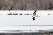 American Pelican Landing in the Snake River in Grand Teton National Park Wyoming