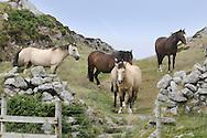 Lundy Ponies