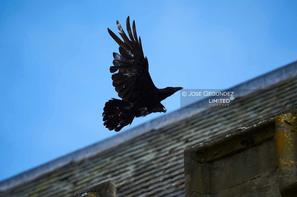 A Black Crow is fly over the Exeter College in Oxford