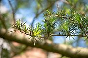 college green, Mapp Athens, summer, Tree Tour, Cedar of Lebanon