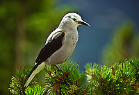 """Clark's Nutcracker (Nucifraga columbiana) A 13"""" bird, gray with black wings; black central tail feathers.  Prefers coniferous forests in western mountains, USA."""