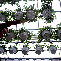Hangende bloembakken in een bloemenkwekerij...Hanging baskets in a greenhouse..