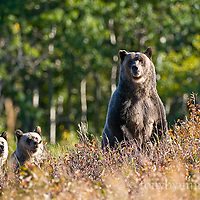 Grizzly and curious cubs, glacier park