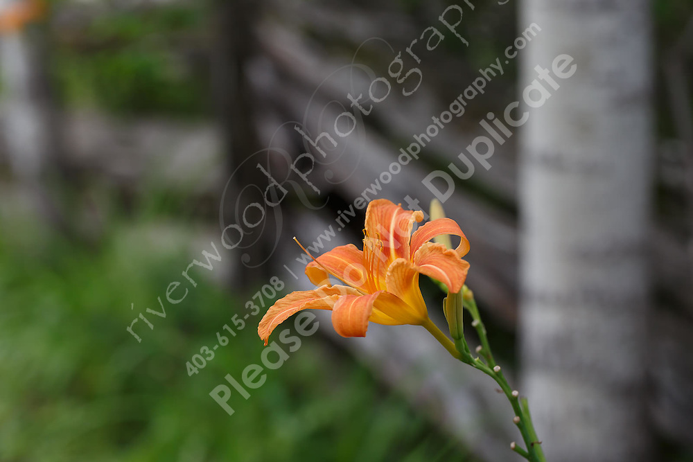 Orange lilies growing adjacent to a weathered old fence near the Bonnechere river in the Ottawa Valley.<br /> <br /> ©2015, Sean Phillips<br /> http://www.RiverwoodPhotography.com