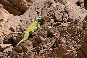 Male Ornate Mastigure (Uromastyx ornata) is one of the most colorful members of the genus in Israel, with lengths of up to 37 cm. Ornate Mastigure can be found on rocky areas in Egypt, Israel and Saudi Arabia Photographed in Israel in March