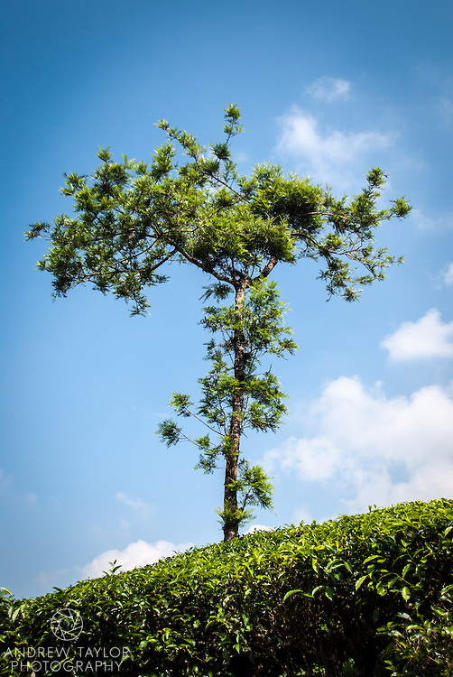 Silver oak tree at a tea plantation, Wayanad, Kerala
