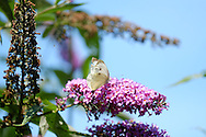 Large (Cabbage) White Butterfly on a buddleia bush in England - August 2013