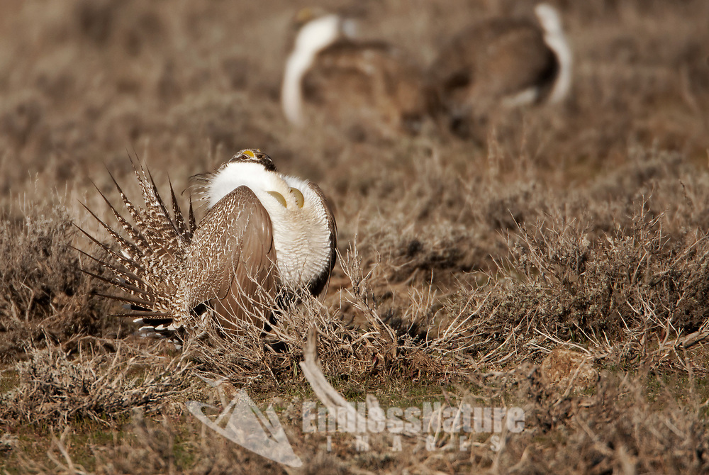 A male Sage Grouse as doing its mating dance and chest display on a March morning in Utah.