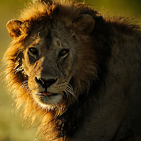 Male Lion at sunset, Ndutu, Tanzania